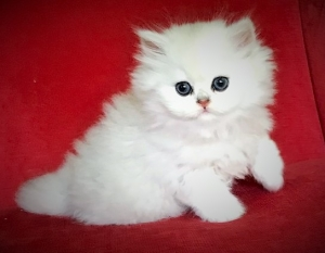 Chinchilla Persian Kittens